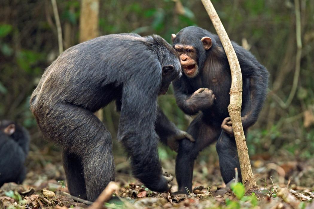 Шимпанзе способны, подобно людям, объединяться против общего врага