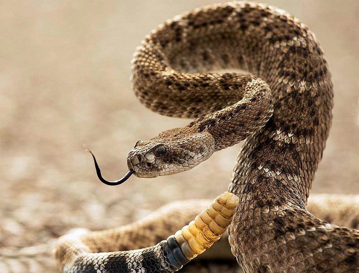 Ученые из Университета Сан-Паулу: яд бразильской змеи блокирует развитие COVID-19