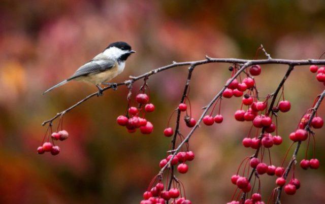 Птицы оказались способны определять индикаторы опасности у ядовитых видов растений