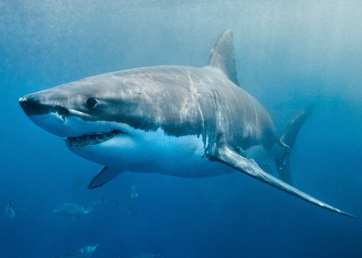 Кишечник у акулы функционирует как клапан Николы Теслы