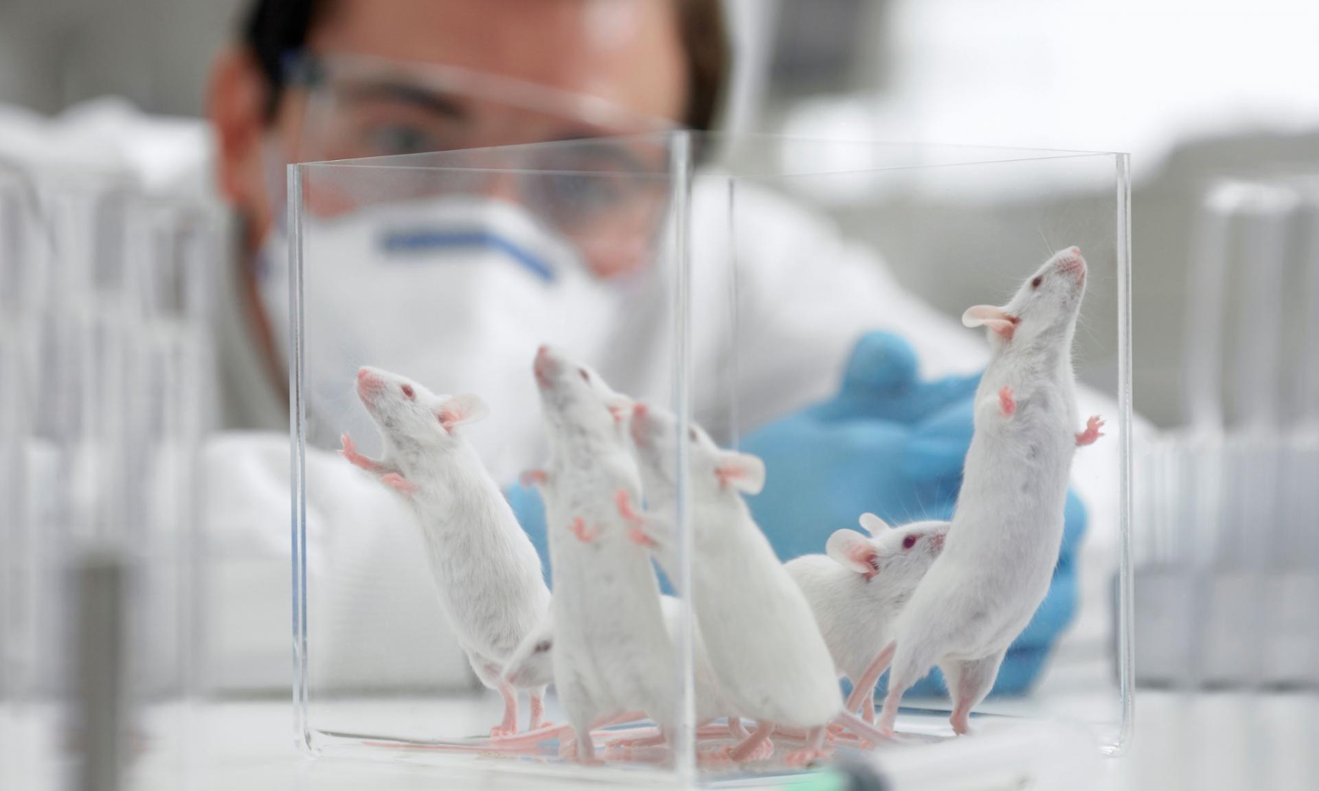 Ученые из Израиля сумели продлить жизнь мышей на 39%