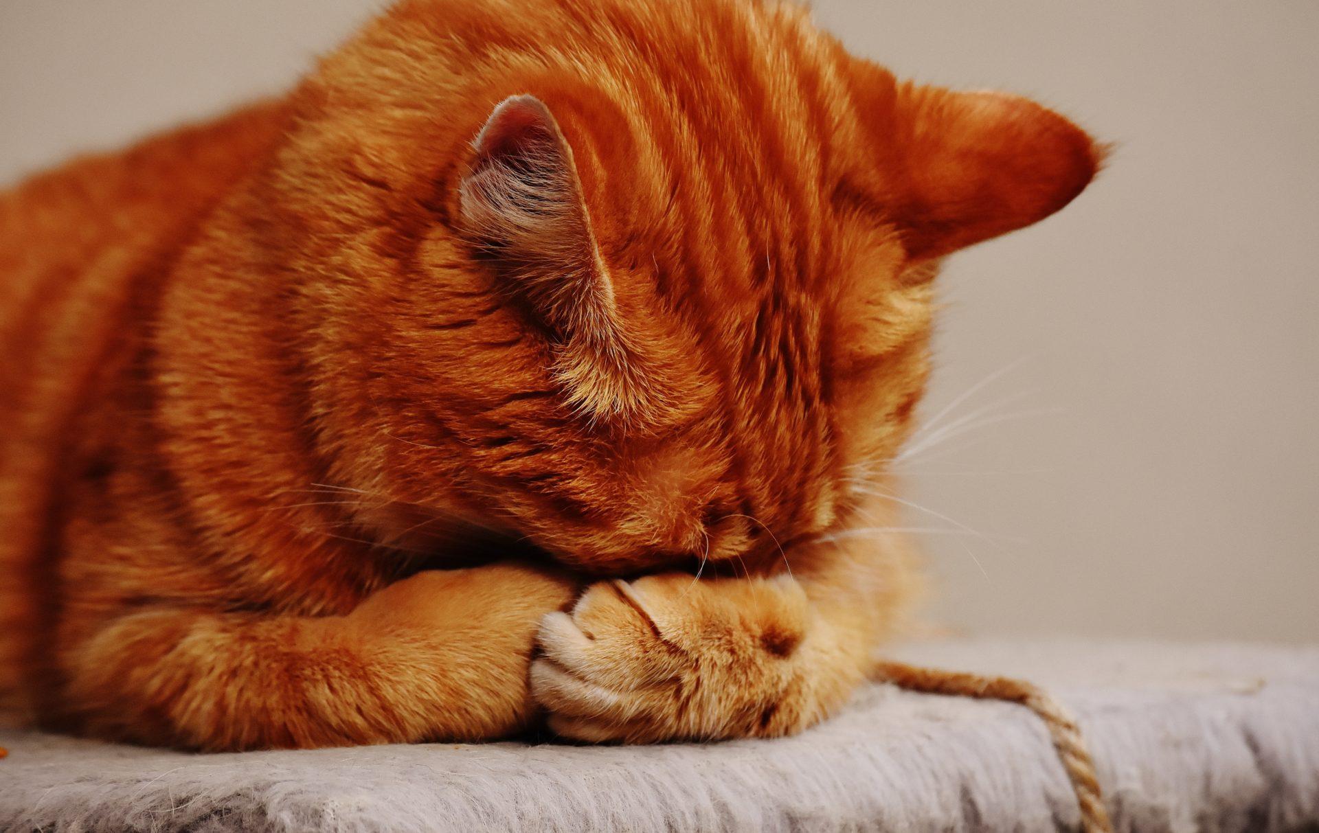 Кошки могут подцепить коронавирус от хозяина через постель