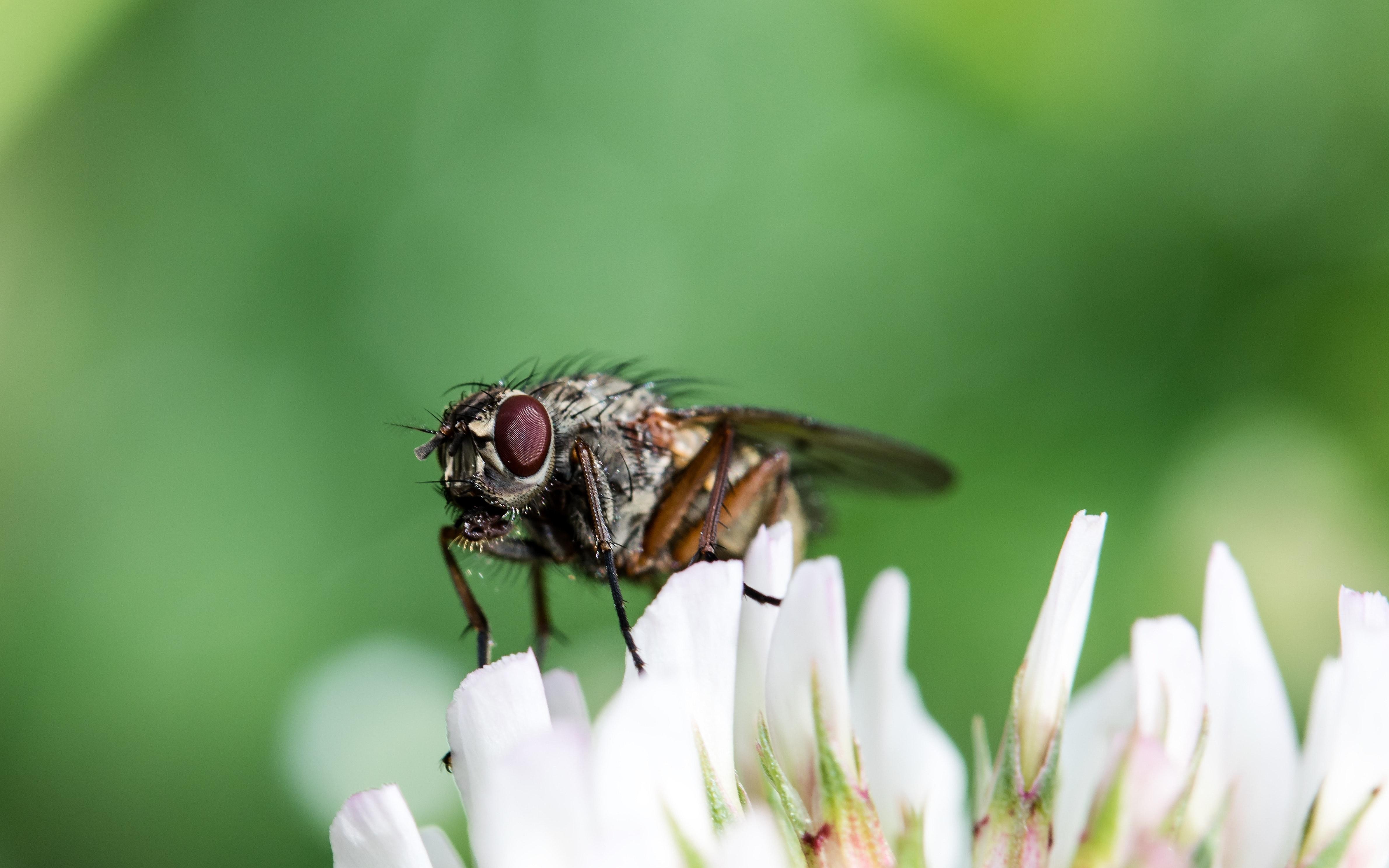 Обнаружена древняя муха-опылитель, которая притворялась осой