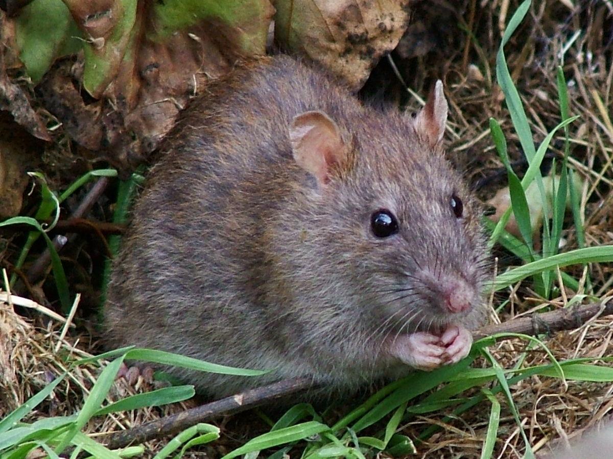 BioRxiv: В Китае самцы крыс смогли перенести беременность