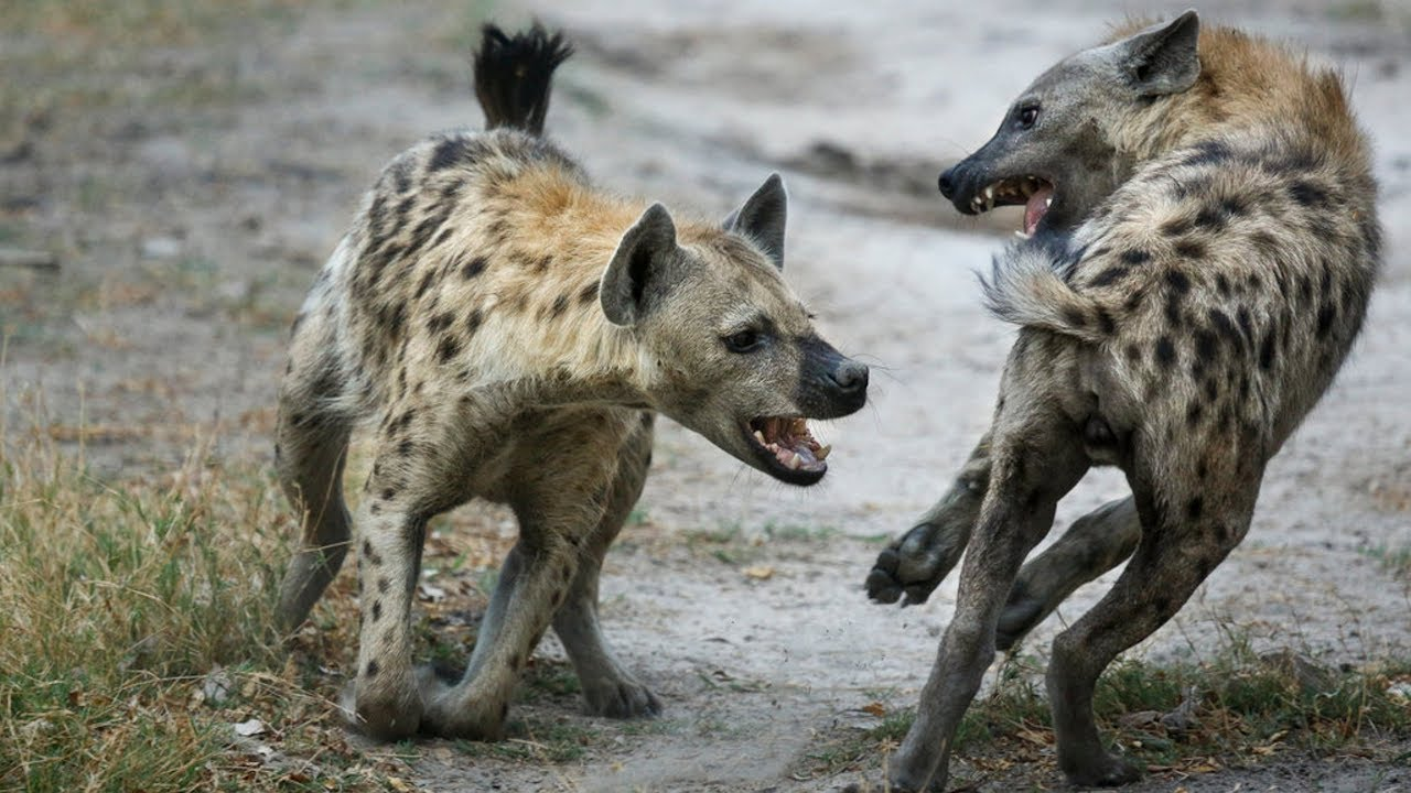 NC: Зараженные токсоплазмой детеныши гиен перестали бояться львов
