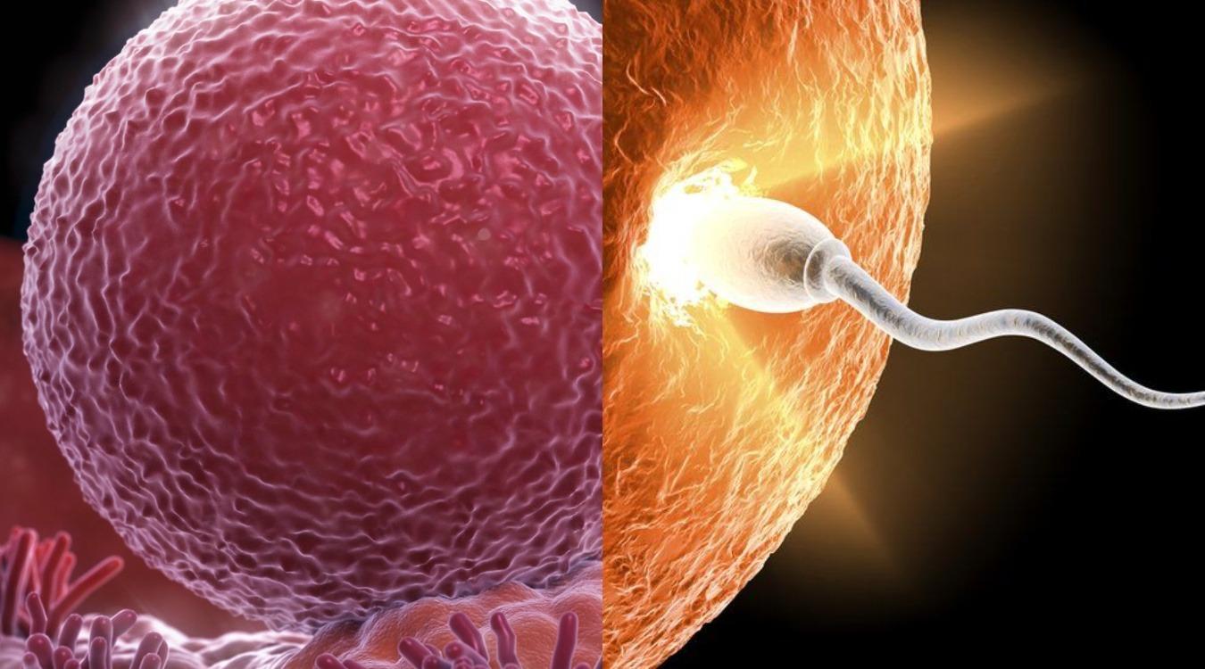Яйцеклетки выбирают сперматозоидов определенных типов