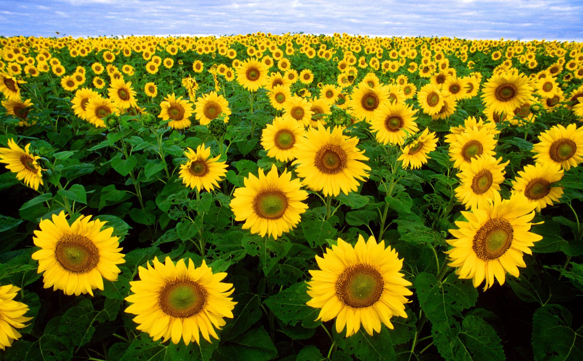 Американские биологи выяснили причину поворачивания подсолнухов к солнцу