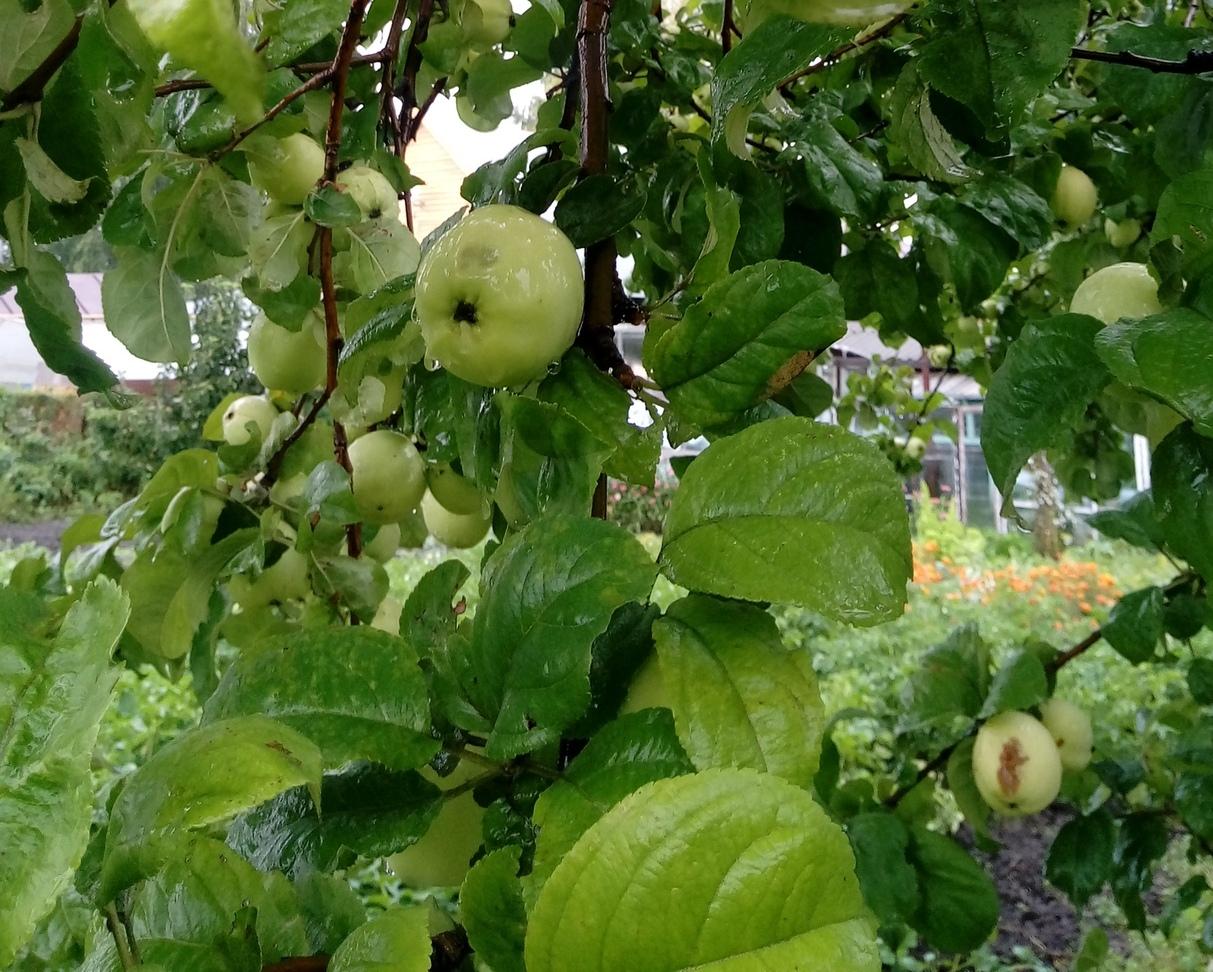 Диетолог Мойсенко назвала дневную норму потребления яблок
