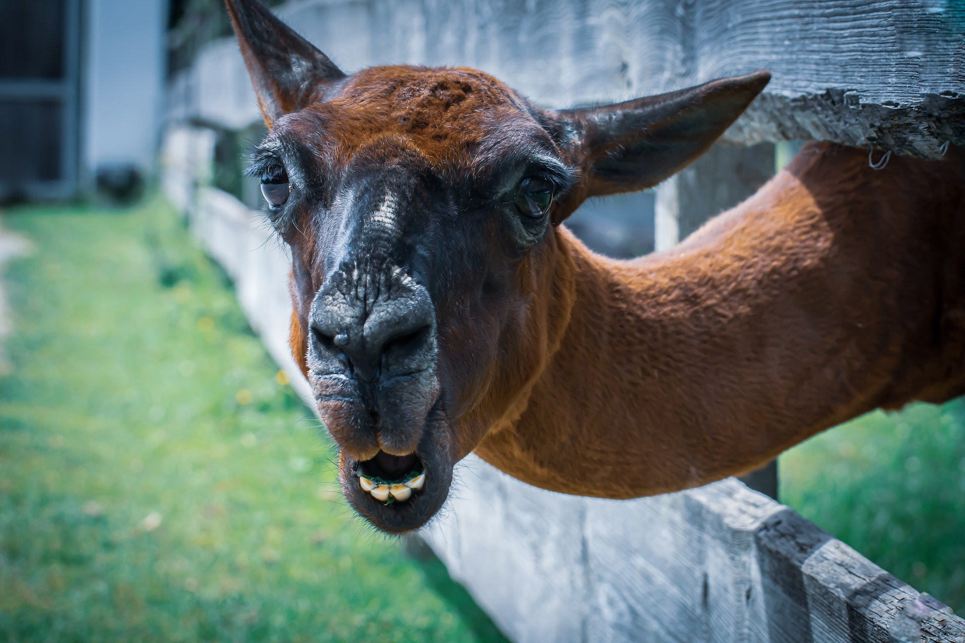 NC: антитела ламы помогают лечить коронавирус в домашних условиях