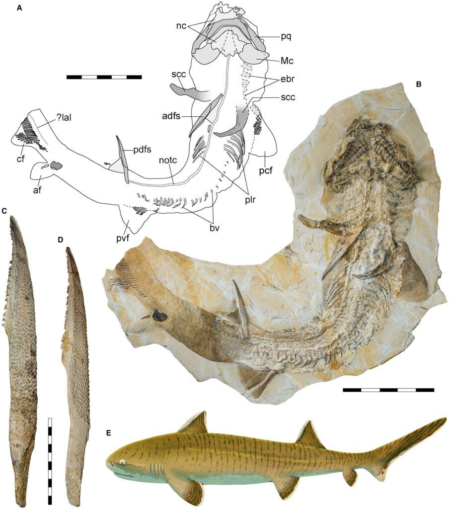 Ученые измерили длину туловища крупнейшей акулы юрского периода