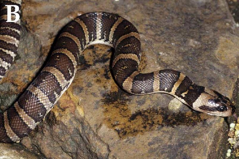 Появление ядовитых клыков у змей в процессе эволюции произошло не для подачи яда