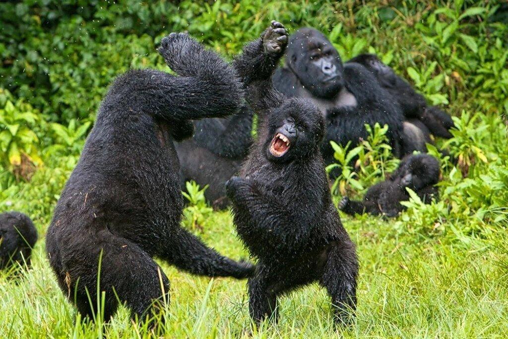 Группа шимпанзе в Габоне убила детеныша горилл