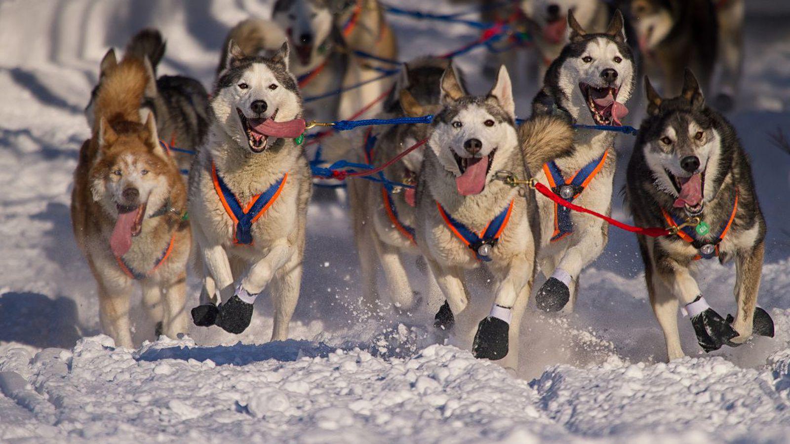 На Аляске нашли следы ездовых собак-каннибалов