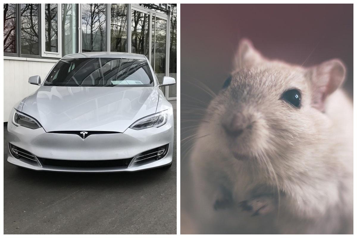 Владельцы электромобилей Tesla в США столкнулись с нашествием крыс