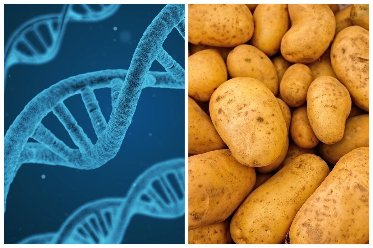 Включение человеческого гена в ДНК картофеля вдвое увеличило урожайность