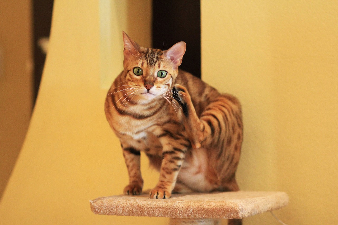 Кошки чаще заражаются коронавирусом COVID-19, чем собаки