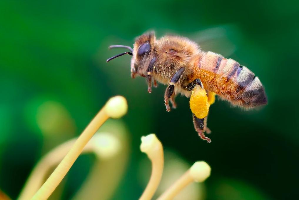 Популяции пчел Фиджи помогла увеличиться вырубка леса на острове