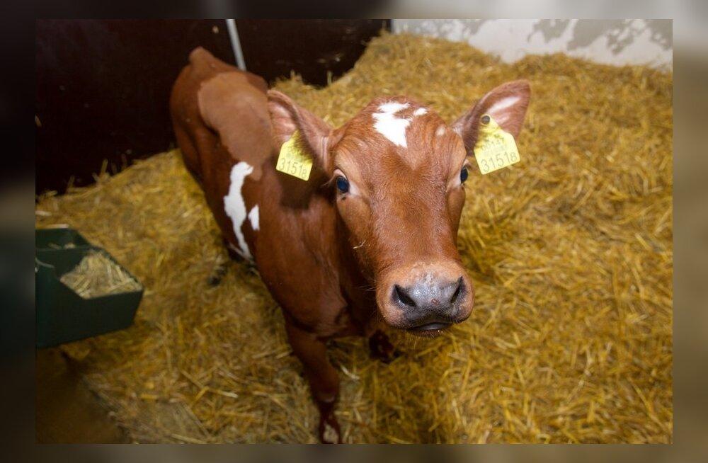 Российскими учеными выращен первый клонированный теленок