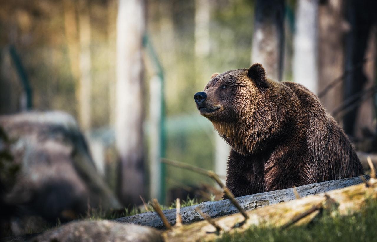 На Аляске спасен был мужчина, неделю отстреливающийся от медведя