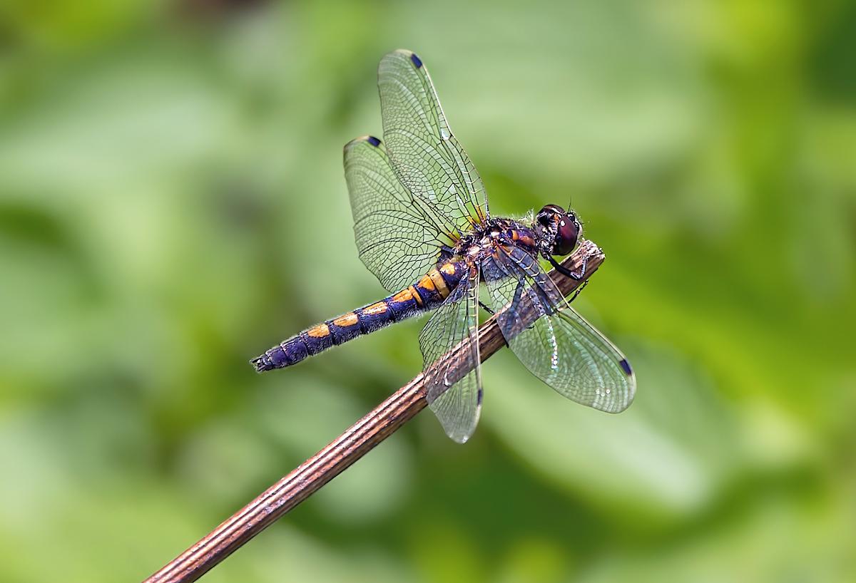 Перемены в климате сократят площадь темных участков на крыльях самцов стрекоз