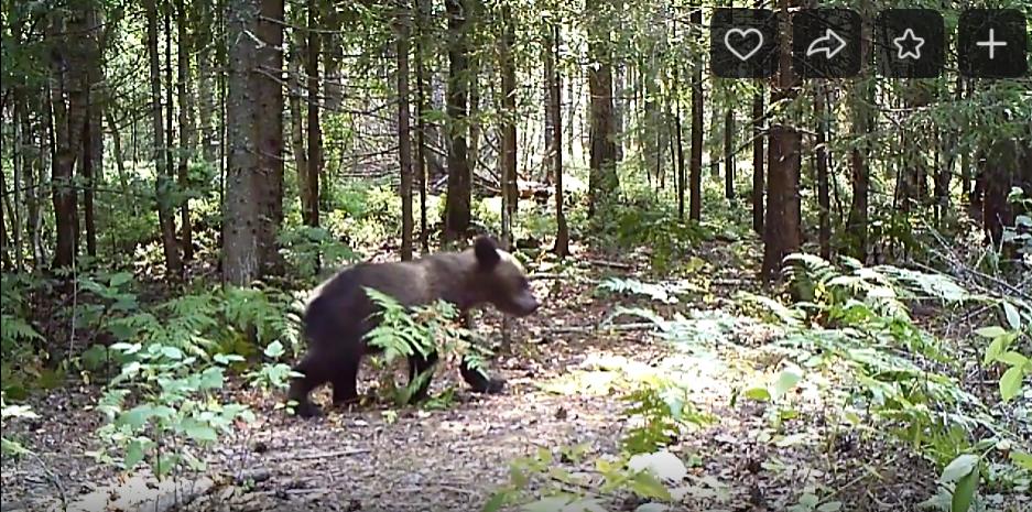 В фотоловушки заповедника в Марий Эл попали семьи медведей