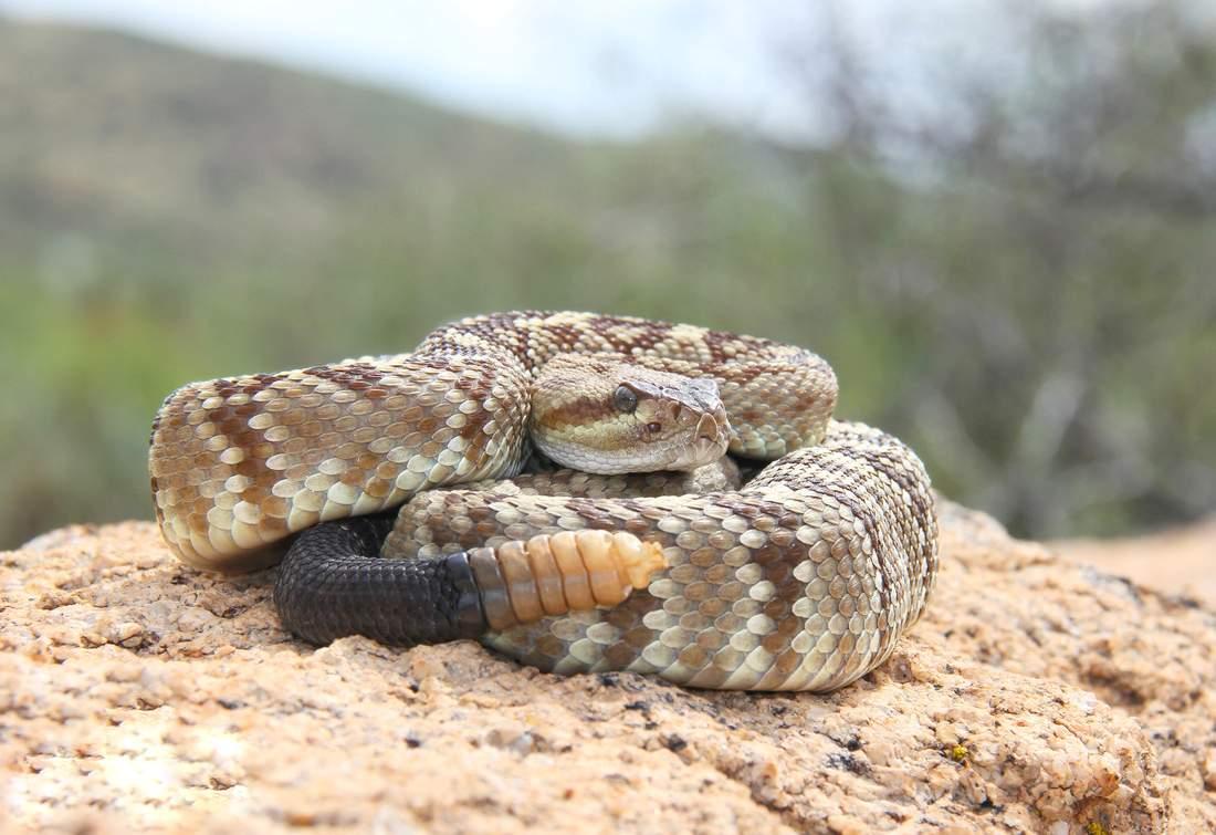Сигнал гремучих змей оказался способом обмануть приближающееся животное
