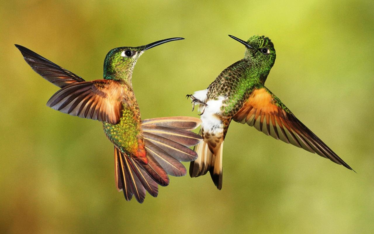 Current Biology: Самки колибри притворяются самцами, чтобы избежать домогательств
