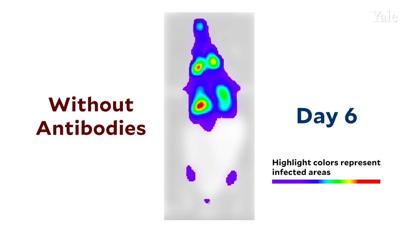 На видео показали, как SARS-CoV-2 распространяется в организме мыши