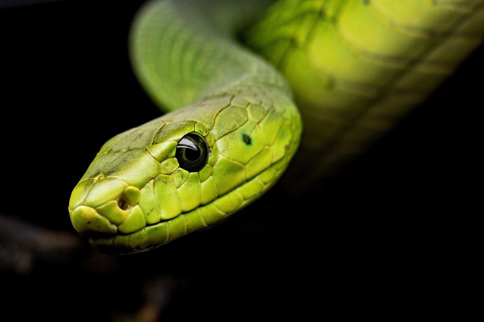 В будущем змеиный яд может стать лекарством от коронавируса