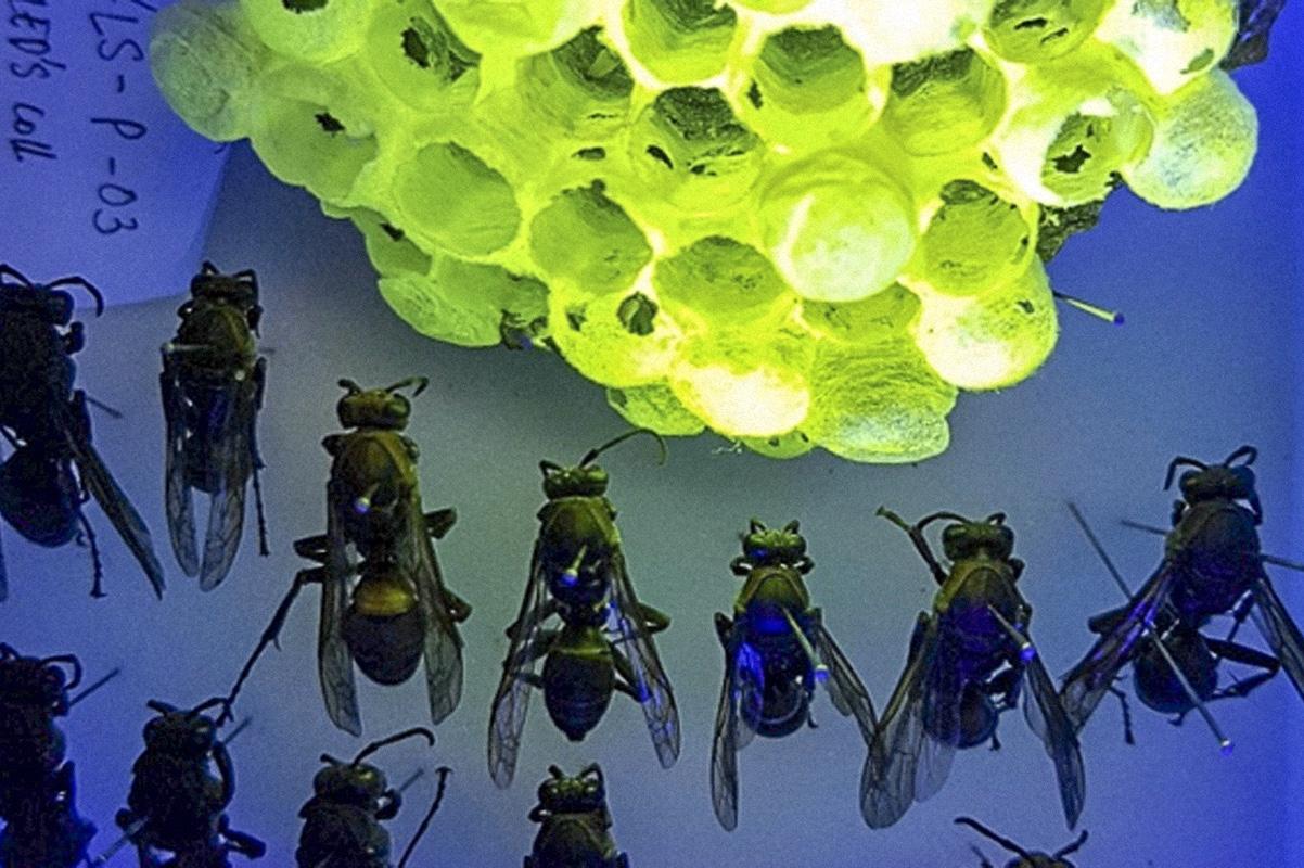 Гнезда вьетнамских бумажных ос флуоресцируют при воздействии УФ лучей