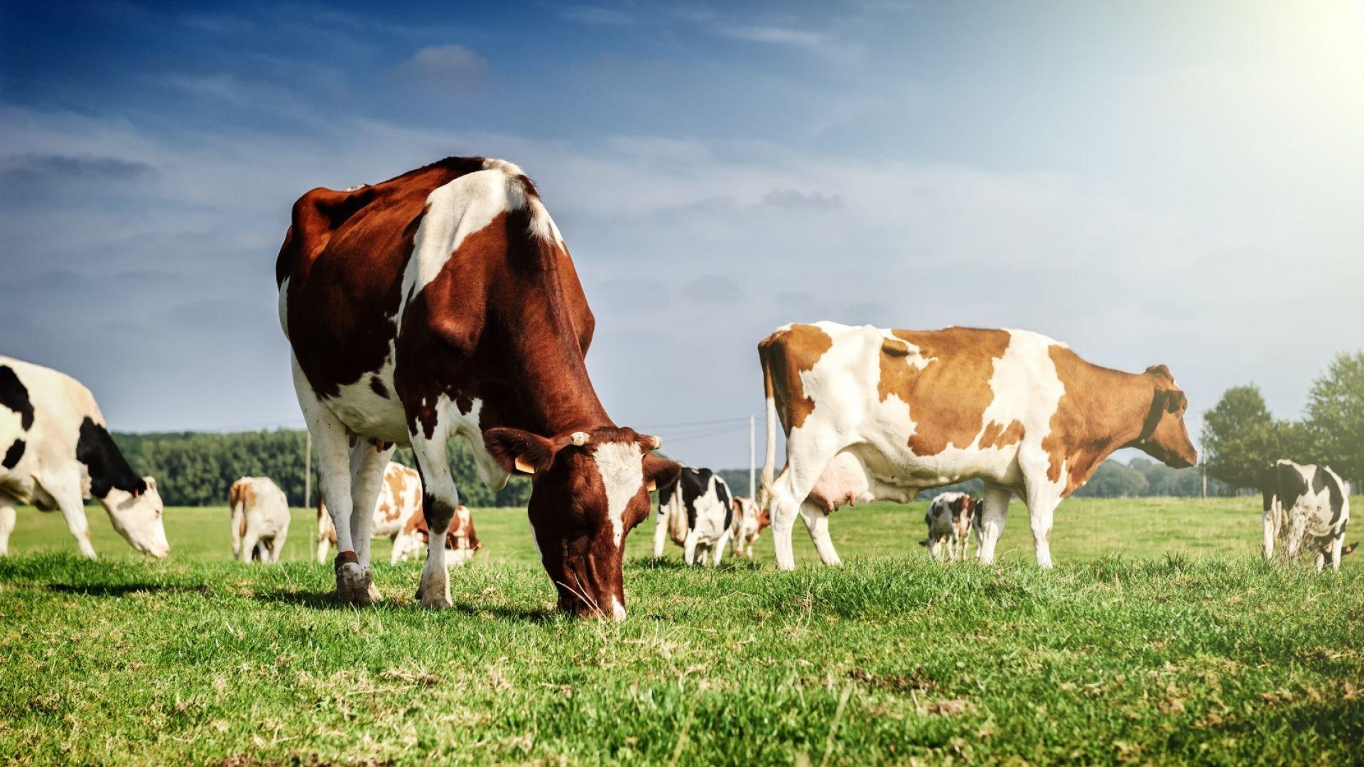 В Новой Зеландии коров обучили ходить в туалет для уменьшения выброса парниковых газов