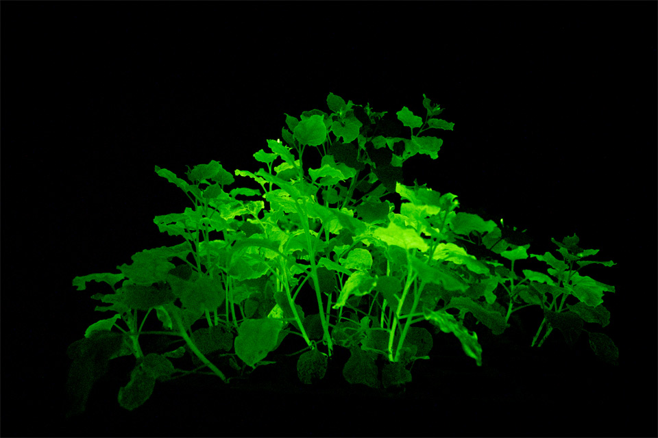 Ученые MIT предложили освещать города при помощи растений