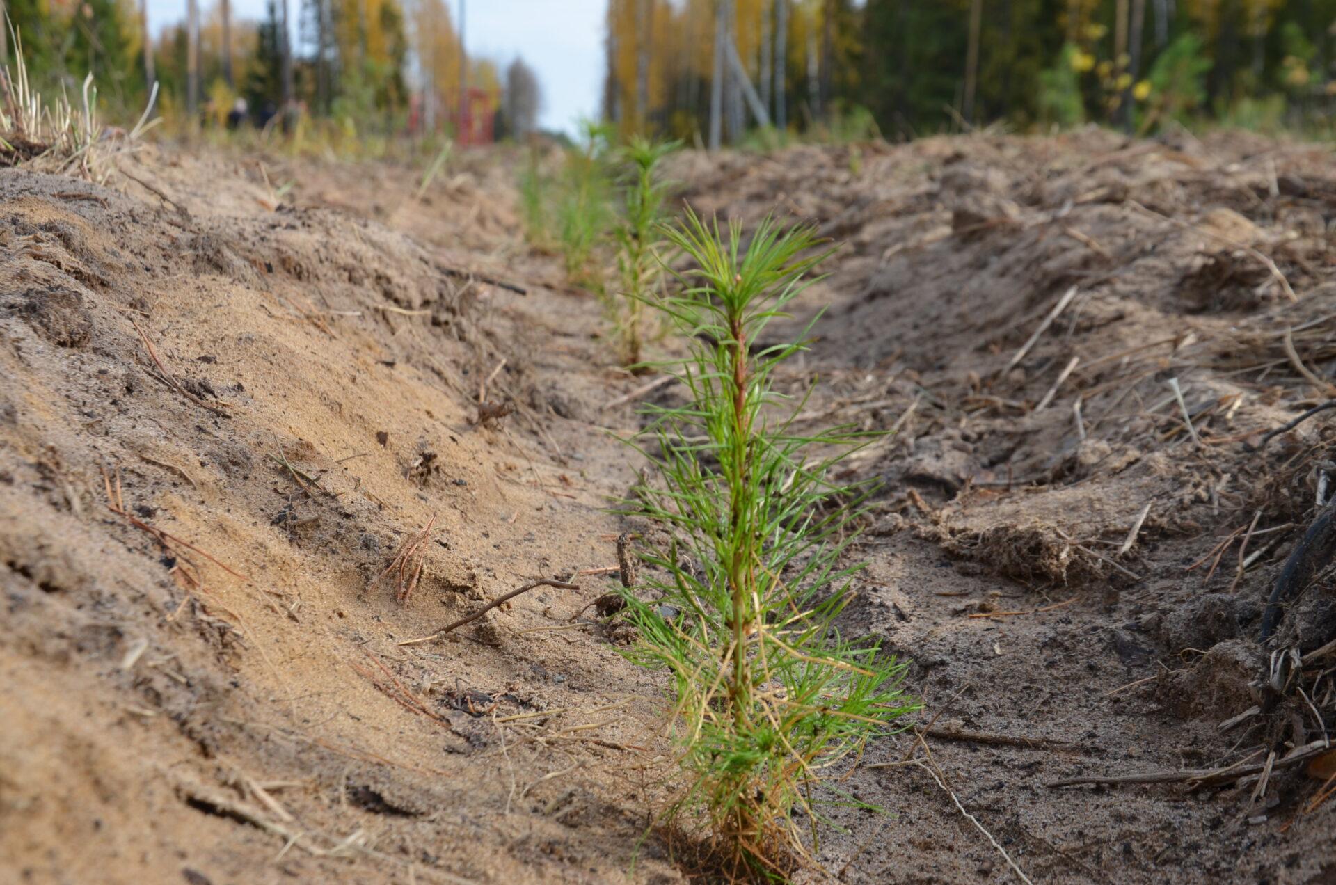 23 сентября в Марий Эл высадят 30 тыс. сосен на месте сгоревшего леса