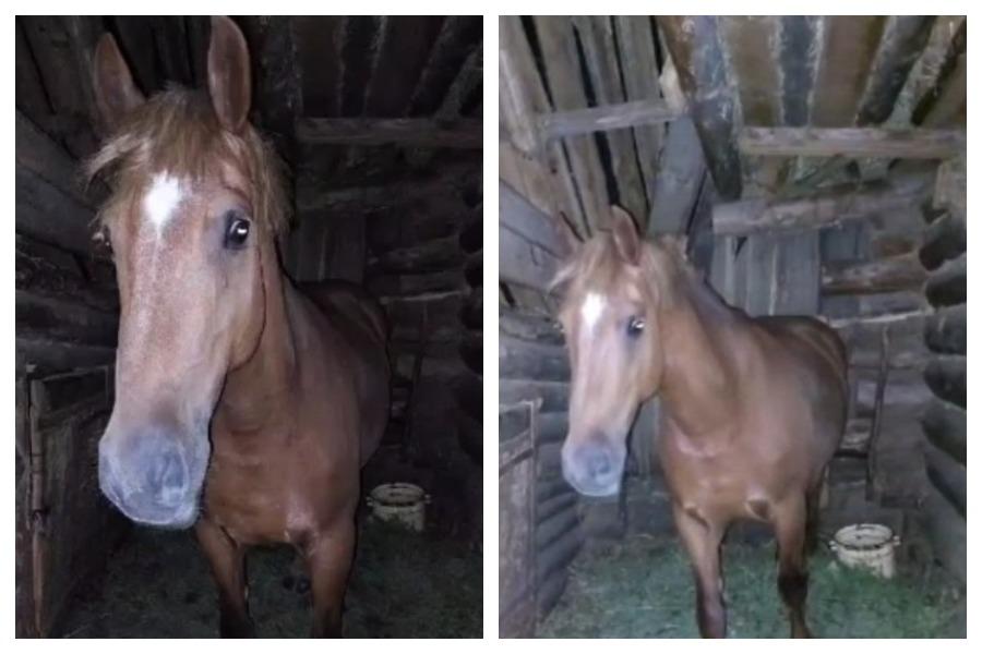 В лесах Марий Эл местный житель разыскивает лошадь Дочу