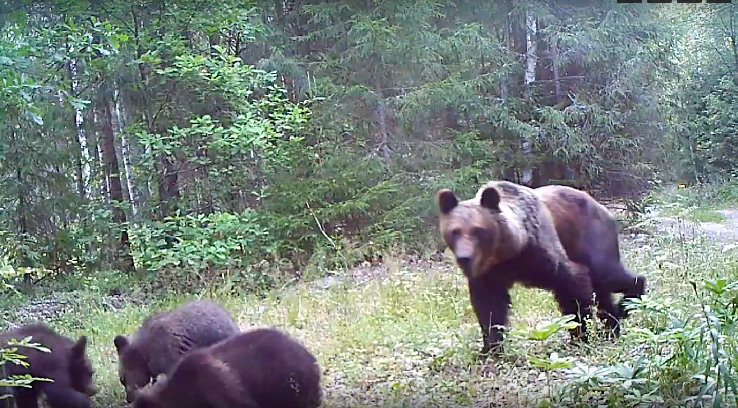 В Марий Эл на фотоловушка запечатлела медведицу с медвежатами