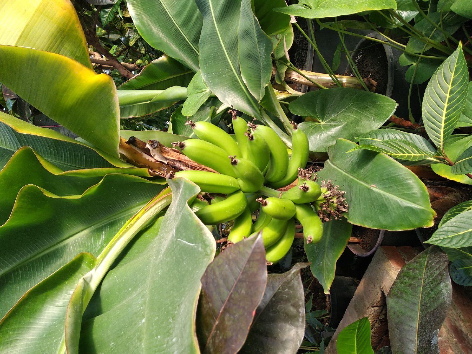 В ботаническому саду Йошкар-Олы выросли бананы сразу на двух пальмах