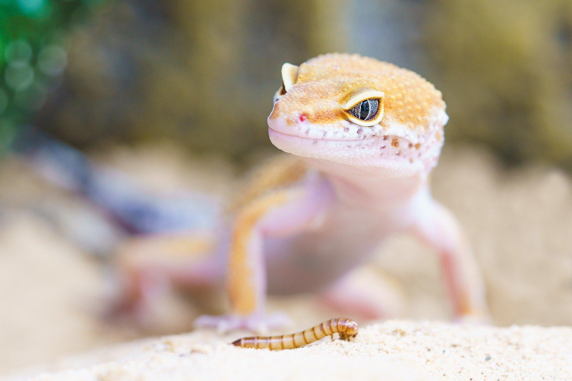 Хвост помогает прыгающим гекконам безопасно приземляться