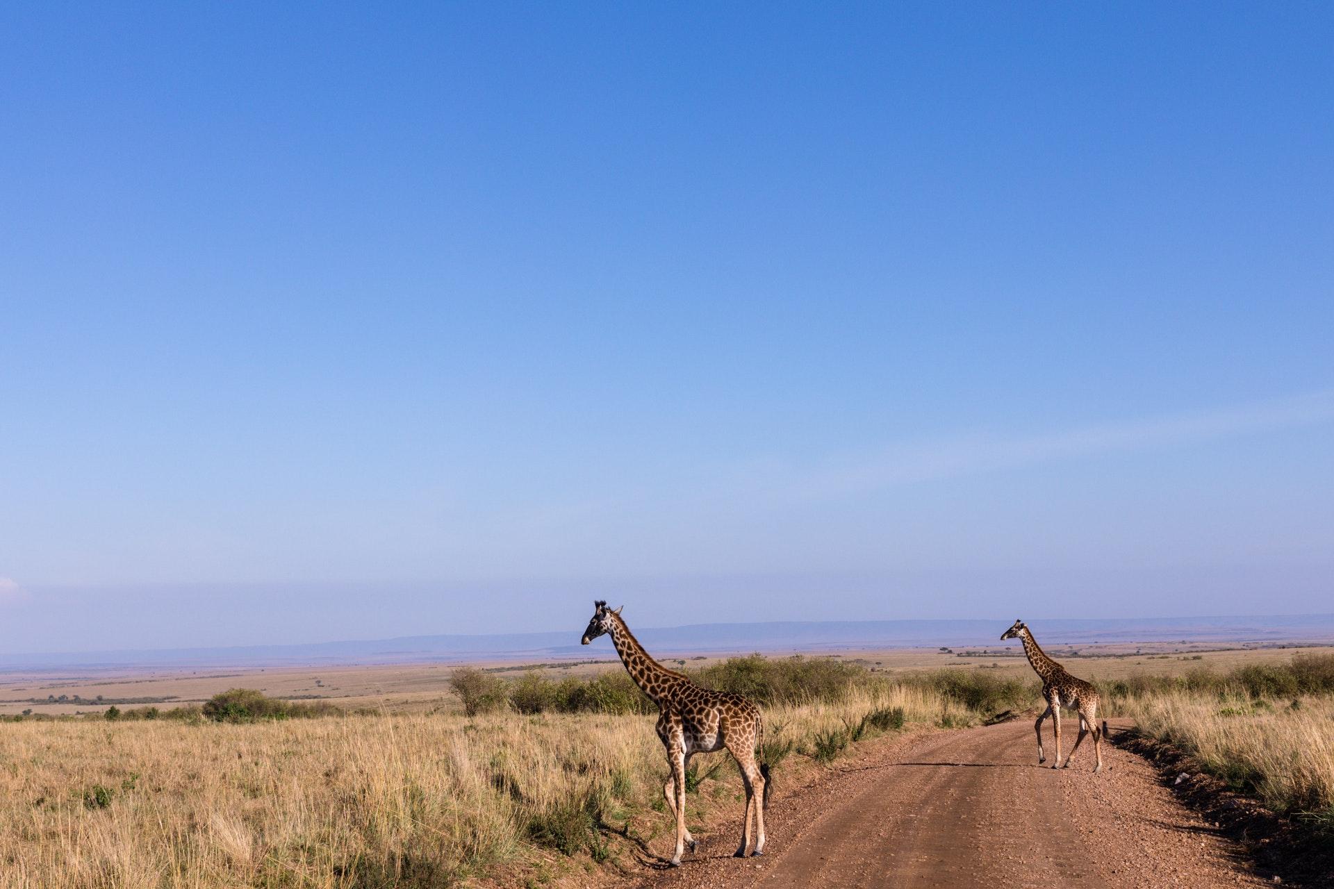 Самцы жирафов дружат лучше, чем самки