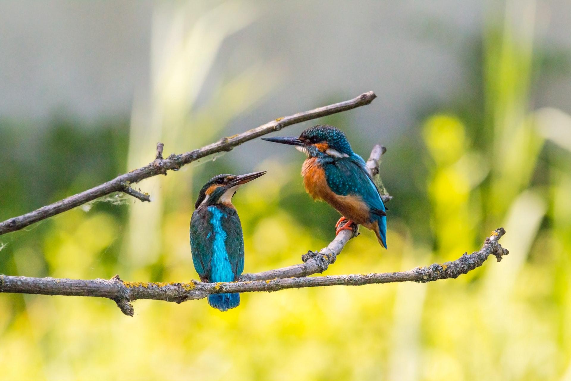 Птенцы учатся петь, уже находясь в яйце