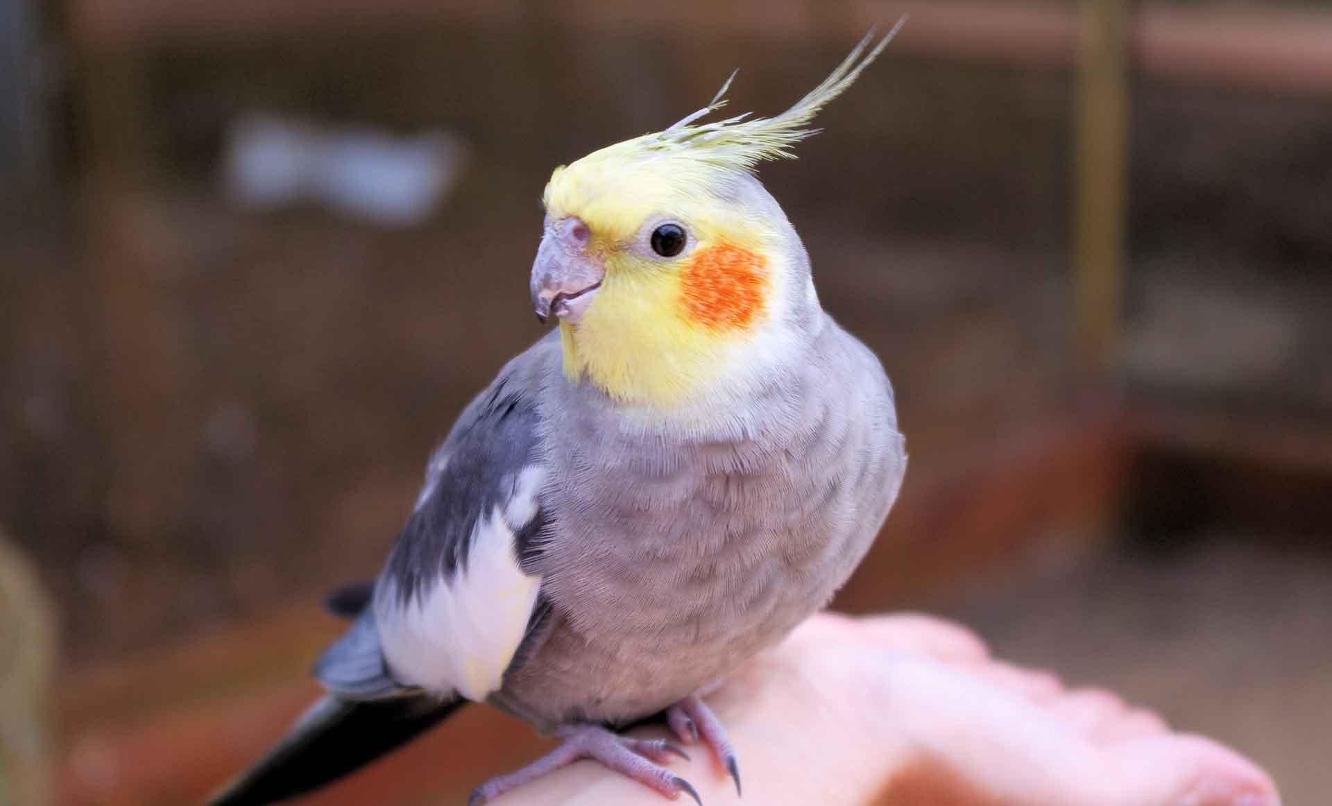 Попугаи кореллы понимают мелодию и могут подпевать