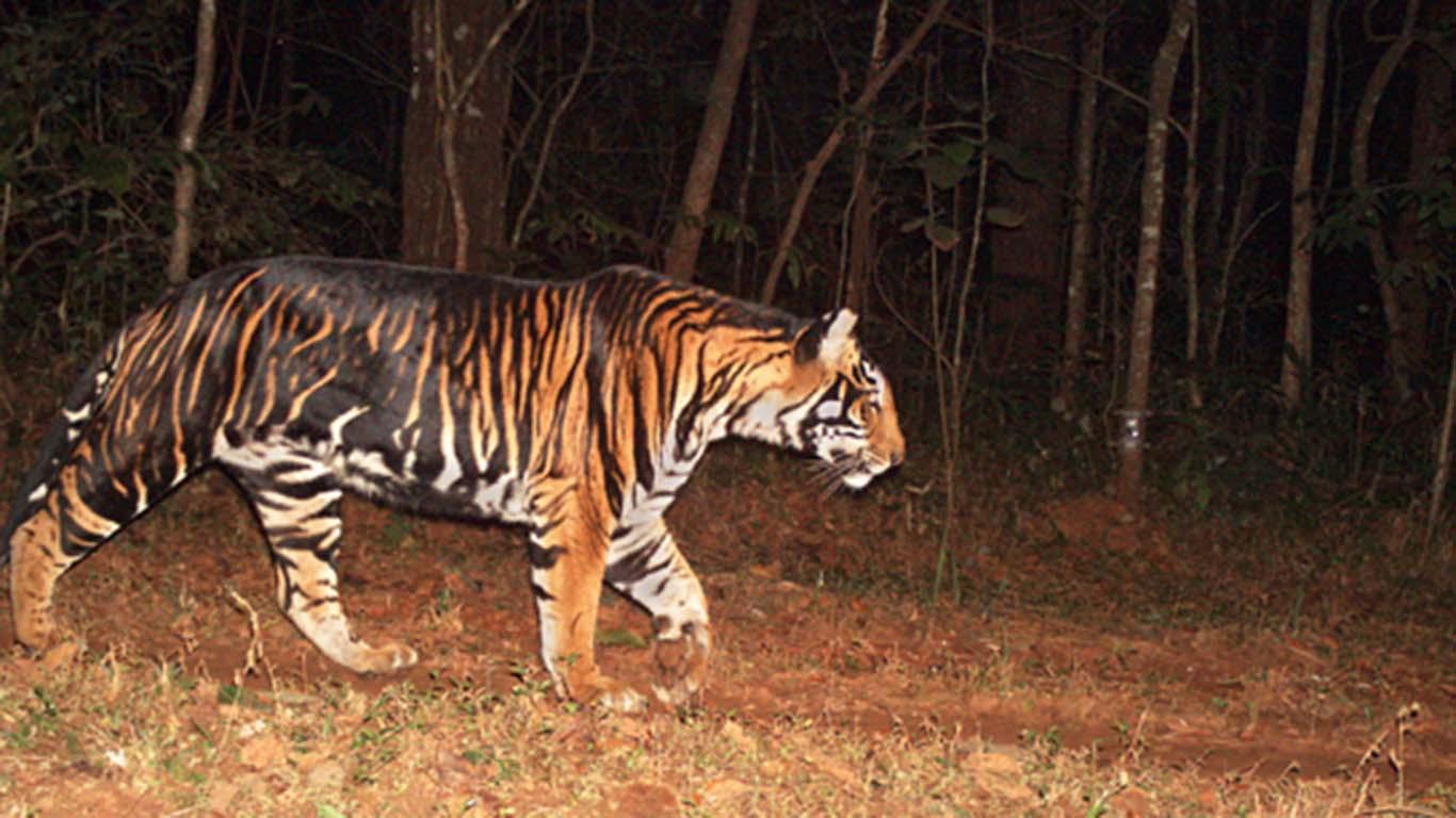 Появлению индийских черных тигров поспособствовал редкий фенотип