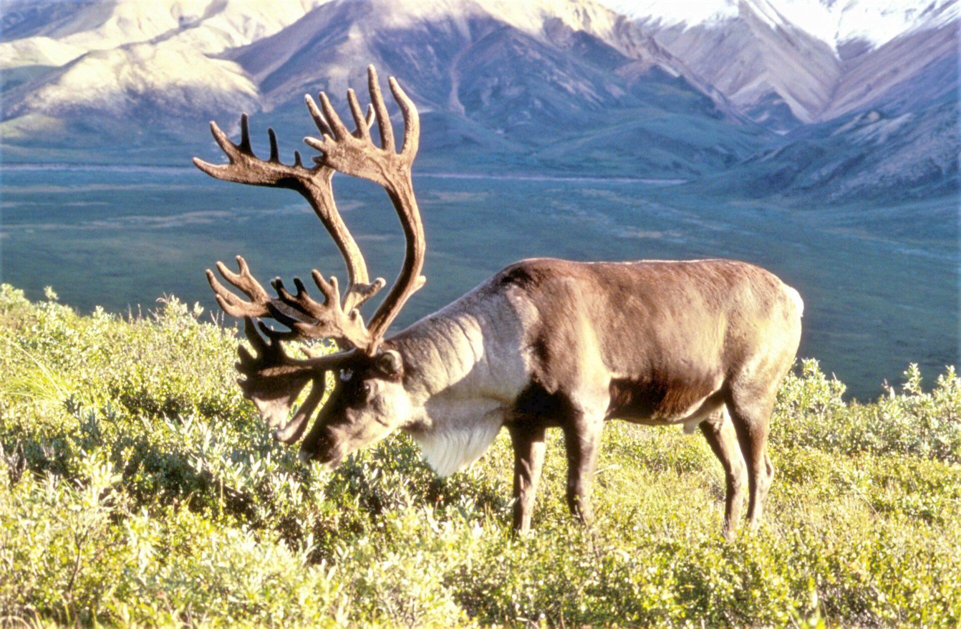 Ученые ЯНАО получили первые данные с ошейников северных оленей