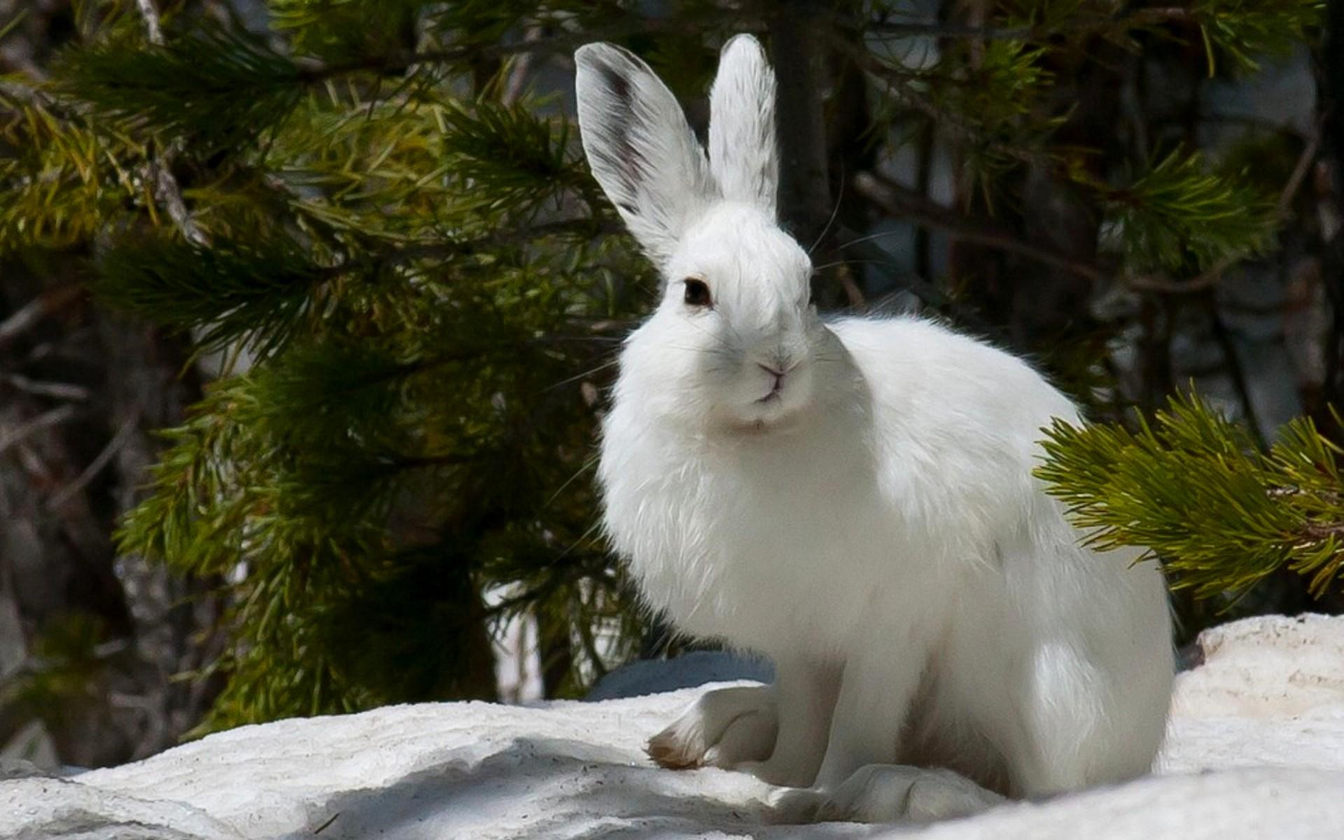 Белым зайцам не грозит снижение популяции из-за глобального потепления