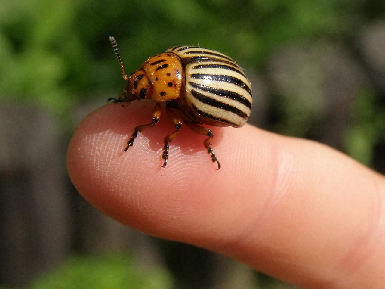 Колорадский жук стал устойчив к 54 инсектицидам
