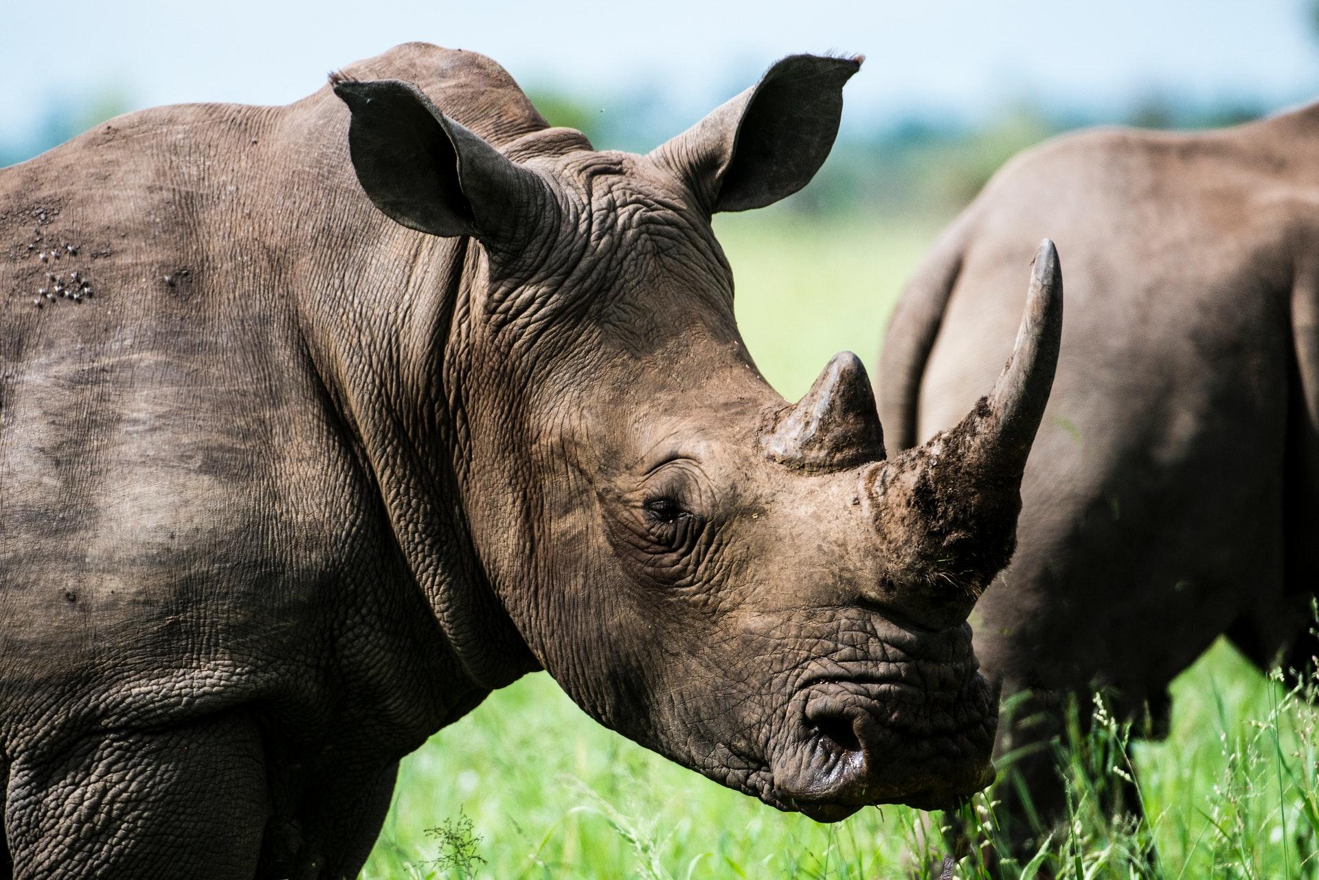 Основной причиной вымирания носорогов названа деятельность человека