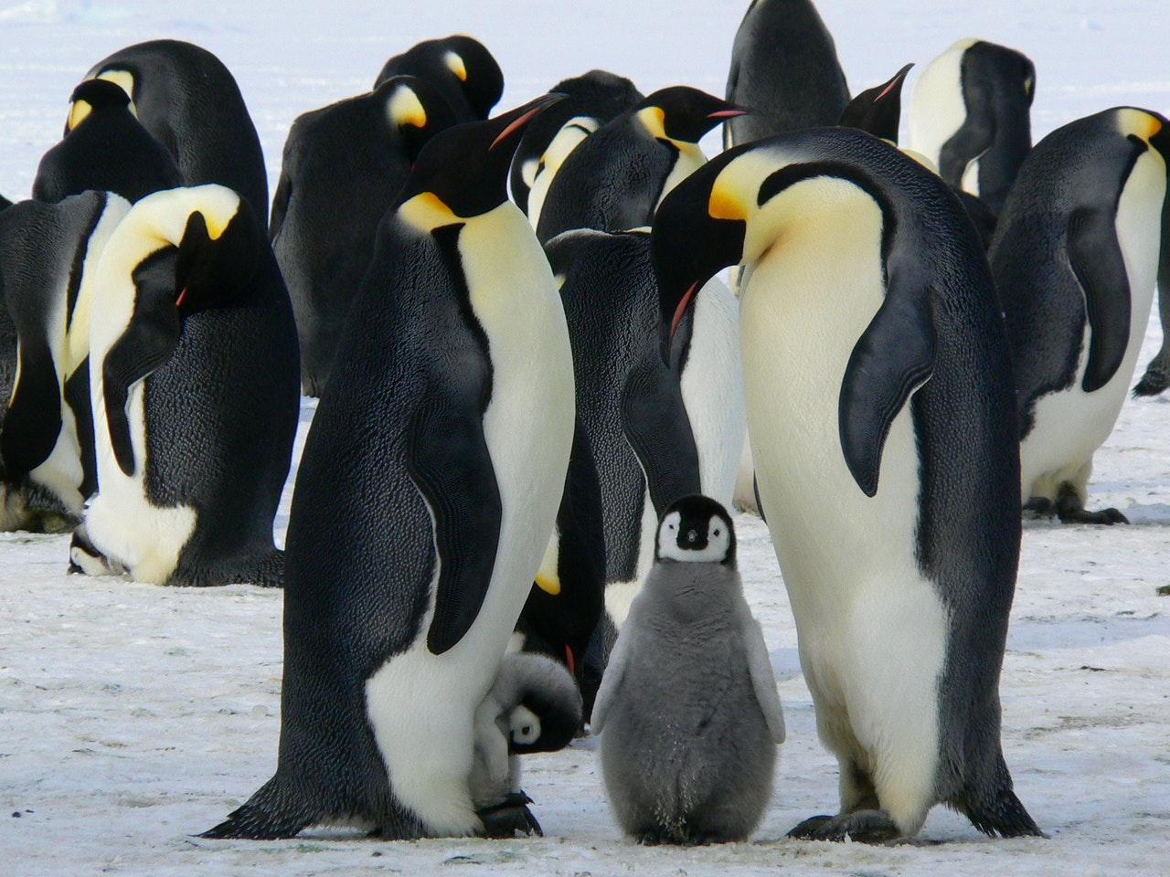 Пингвины различают сородичей по внешности и голосу